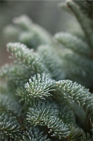 forestry - Close-up of Evergreen Tree Stock Photo - Rights-Managed, Code: 700-03439531