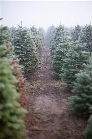 forestry - Rows of Evergreen Trees at Tree Farm, near Estacada, near Portland, Oregon, USA Stock Photo - Rights-Managed, Code: 700-03439532