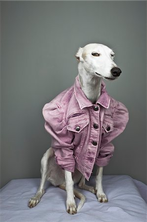 quirky - Greyhound Wearing Jacket Stock Photo - Rights-Managed, Code: 700-03448779