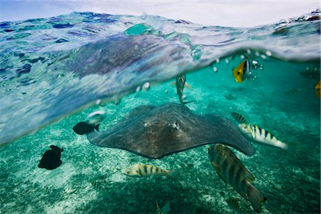 french polynesia - Manta Ray with Tropical Fish, Bora Bora, Tahiti, French Polynesia Stock Photo - Rights-Managed, Code: 700-03440204