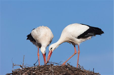White Storks Building Nest Stock Photo - Rights-Managed, Code: 700-03478630
