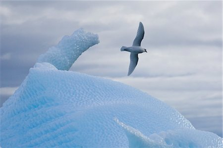 Snow Petrel Flying over Iceberg, Antarctica Stock Photo - Rights-Managed, Code: 700-03484586