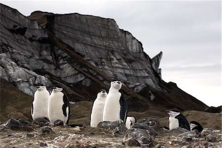Chinstrap Pengins at Bailey Head, Deception Island, Antarctica Stock Photo - Rights-Managed, Code: 700-03484591