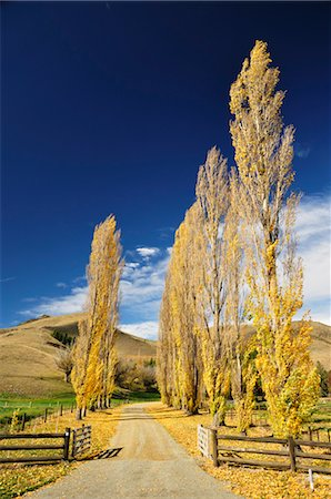 Poplar Tree-Lined Road, Omarama Valley, Canterbury, South Island, New Zealand Stock Photo - Rights-Managed, Code: 700-03508393