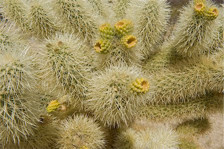 spike - Close-up of Cholla Cactus Stock Photo - Rights-Managed, Code: 700-03556588