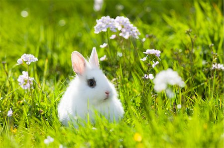 fluffy - Young Dwarf Rabbit in Grass Stock Photo - Rights-Managed, Code: 700-03573890