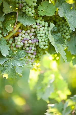 Grapes in Vineyard Stock Photo - Rights-Managed, Code: 700-03586306