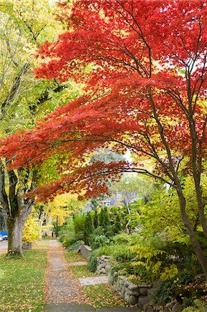 Japanese Maple in Autumn, 13th Avenue in West Point Grey, Vancouver, British Columbia, Canada Stock Photo - Rights-Managed, Code: 700-03615865