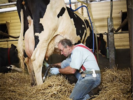rear - Farmer Milking Holstein Cow on Organic Dairy Farm, Ontario, Canada Stock Photo - Rights-Managed, Code: 700-03621365