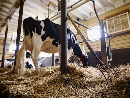 Holstein Dairy Cow in Barn, Ontario, Canada Stock Photo - Rights-Managed, Code: 700-03621429