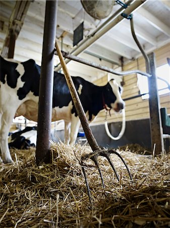 Pitchfork and Holstein Dairy Cow in Barn, Ontario, Canada Stock Photo - Rights-Managed, Code: 700-03621434