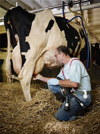 Farmer Milking Holstein Cow on Organic Dairy Farm, Ontario, Canada Stock Photo - Rights-Managed, Code: 700-03621430