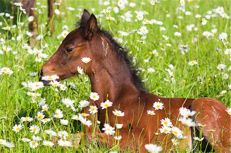 Missouri Fox Trotter Foal Lying in Daisies Stock Photo - Rights-Managed, Code: 700-03641318