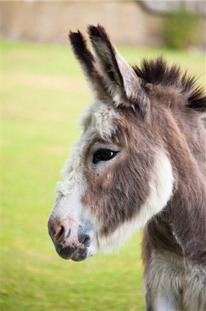 Mediterranean Miniature Donkey Stock Photo - Rights-Managed, Code: 700-03641345