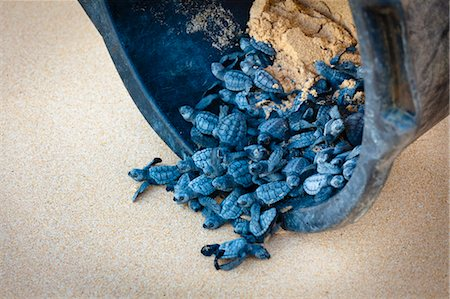 release - Green Sea Turtle Hatchlings being Released after Incubation, Sumba, Lesser Sunda Islands, Indonesia Stock Photo - Rights-Managed, Code: 700-03665782