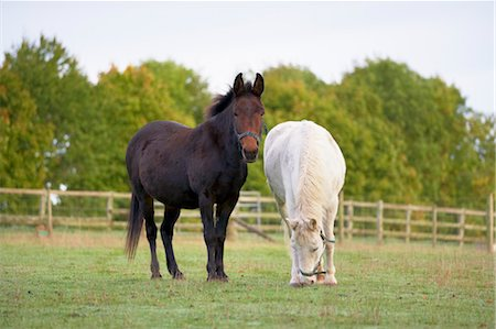 Brown Mule and White Pony in Field, Cotswolds, Gloucestershire, England Stock Photo - Rights-Managed, Code: 700-03682432