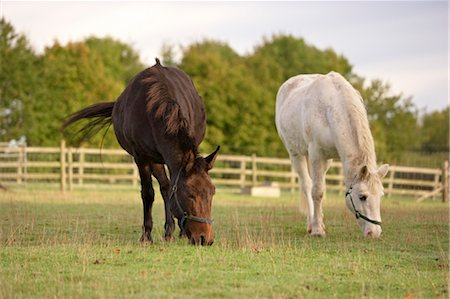 Brown Mule and White Pony in Field, Cotswolds, Gloucestershire, England Stock Photo - Rights-Managed, Code: 700-03682433