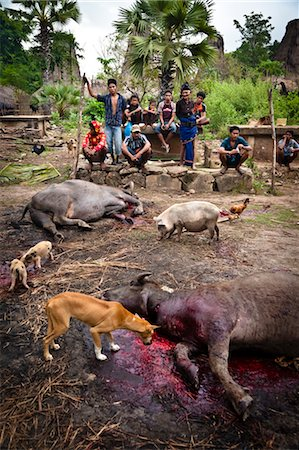 Sacrificed Animals for Funeral Ceremony in Waihola Village, Sumba, Indonesia Stock Photo - Rights-Managed, Code: 700-03696911