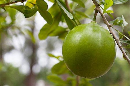 single fruits tree - Inedible Calabash Fruit Stock Photo - Rights-Managed, Code: 700-03696964