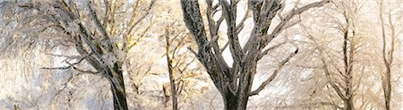 panoramic winter scene - Woodland Trees Coated in Hoarfrost at Sunrise, Dorset, England Stock Photo - Rights-Managed, Code: 700-03768720