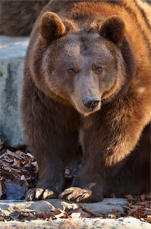 Close-Up of Brown Bear, Germany Stock Photo - Rights-Managed, Code: 700-03799485