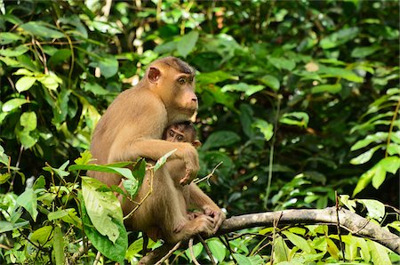 Macaque with Young, Sabah, Borneo, Malaysia, Asia Stock Photo - Rights-Managed, Code: 700-03805287