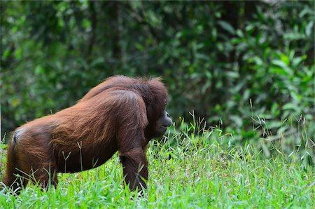 Orangutan, Lok Kawi Wildlife Park, Sabah, Borneo, Malaysia Stock Photo - Rights-Managed, Code: 700-03805298