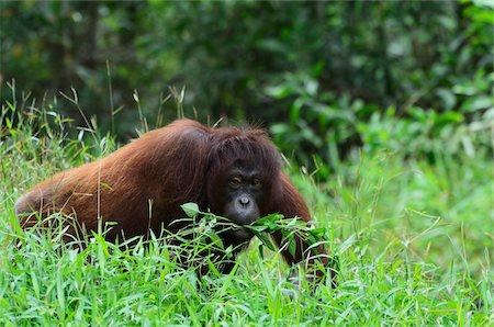 Orangutan, Lok Kawi Wildlife Park, Sabah, Borneo, Malaysia Stock Photo - Rights-Managed, Code: 700-03805299