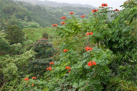 Lush Rainforest along Hana Highway, Maui, Hawaii Stock Photo - Rights-Managed, Code: 700-03805472