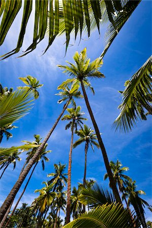 palm - Palm Trees, Fafa Island Resort, Nuku'alofa, Tongatapu, Kingdom of Tonga Stock Photo - Rights-Managed, Code: 700-03814150