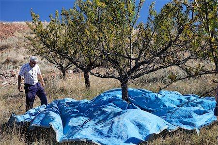 single fruits tree - Man Harvesting Almonds, Teruel Province, Aragon, Spain Stock Photo - Rights-Managed, Code: 700-03848935