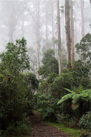 dreamy - Path Through Mountain Ash Forest in Fog, Dandenong Ranges National Park, Dandenong Ranges, Victoria, Australia Stock Photo - Rights-Managed, Code: 700-03907637