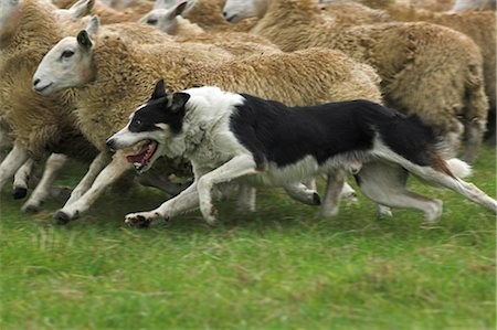 Collie Sheepdog Rounding Sheep up Stock Photo - Rights-Managed, Code: 824-02626596