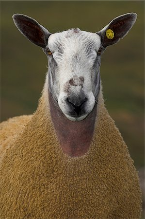 Blue Faced Leicester Ram in Field , Northumberland Stock Photo - Rights-Managed, Code: 824-02626623