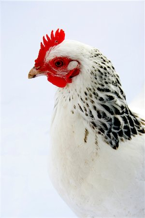 Organic free range chicken on white background Stock Photo - Rights-Managed, Code: 824-02888877