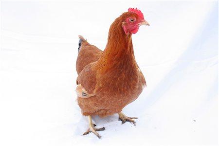 Organic free range chicken on white background Stock Photo - Rights-Managed, Code: 824-02888879