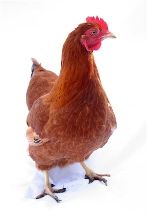 Organic free range chicken on white background Stock Photo - Rights-Managed, Code: 824-02888882