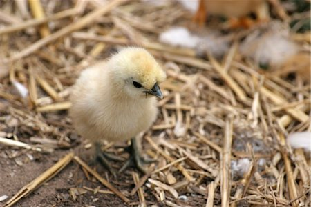 Baby chicks with hen Stock Photo - Rights-Managed, Code: 824-02888960