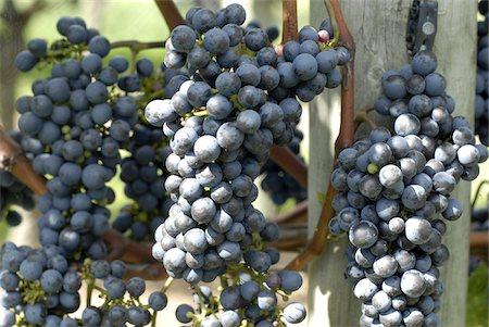 Vineyard on Waiheke Island Auckland North Island New Zealand Stock Photo - Rights-Managed, Code: 824-03721637