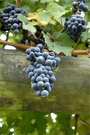 Vineyard in the Marlborough region near Blenheim South Island New Zealand Stock Photo - Rights-Managed, Code: 824-03721660