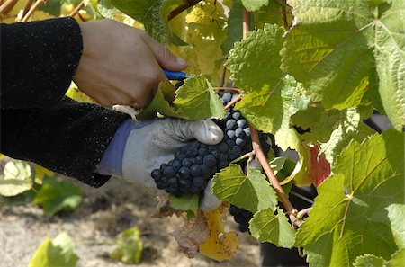 Hand picking grapes in a vineyard in the Marlborough region near Blenheim South Island New Zealand Stock Photo - Rights-Managed, Code: 824-03721690