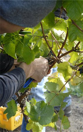 Hand picking grapes in a vineyard in the Marlborough region near Blenheim South Island New Zealand Stock Photo - Rights-Managed, Code: 824-03721691