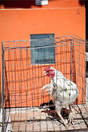 Chicken in a pen Stock Photo - Rights-Managed, Code: 824-03744432