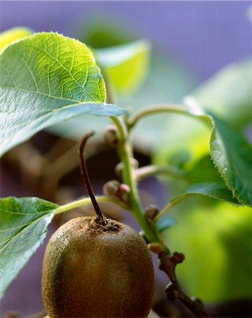single fruits tree - Kiwi Stock Photo - Rights-Managed, Code: 825-05986882