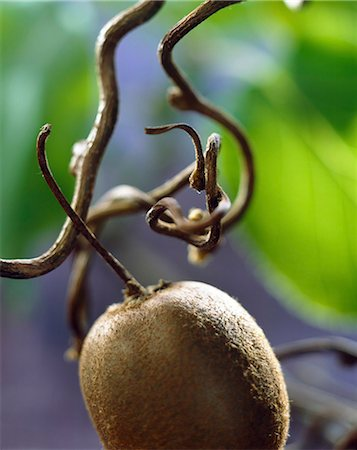 single fruits tree - kiwi Stock Photo - Rights-Managed, Code: 825-05986883