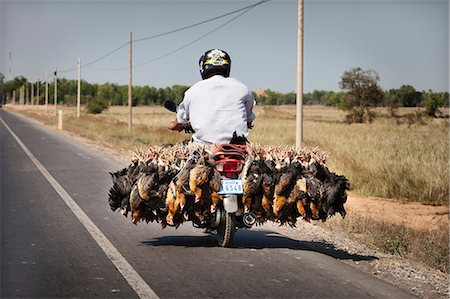 Man transporting live chickens on a moped ,Cambodia Stock Photo - Rights-Managed, Code: 825-07077156
