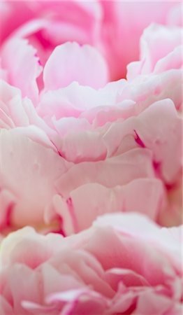 peony backgrounds - Pink Peonies Stock Photo - Rights-Managed, Code: 822-05554740