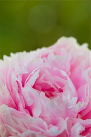 peony - Pink Peony Stock Photo - Rights-Managed, Code: 822-05554742