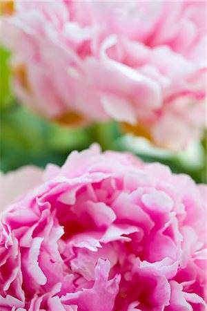 peony - Pink Peonies Stock Photo - Rights-Managed, Code: 822-05554757