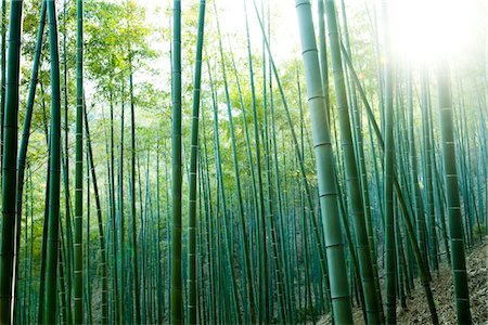 Bamboo Forest Stock Photo - Rights-Managed, Code: 822-05554886